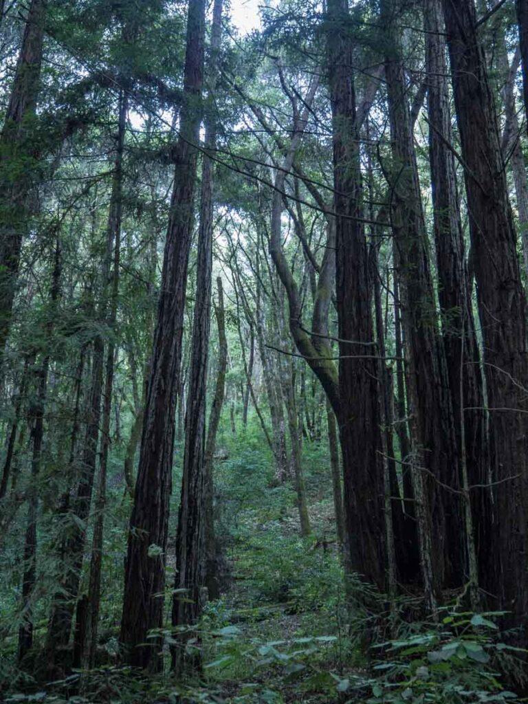 Nisene State Park Redwoods