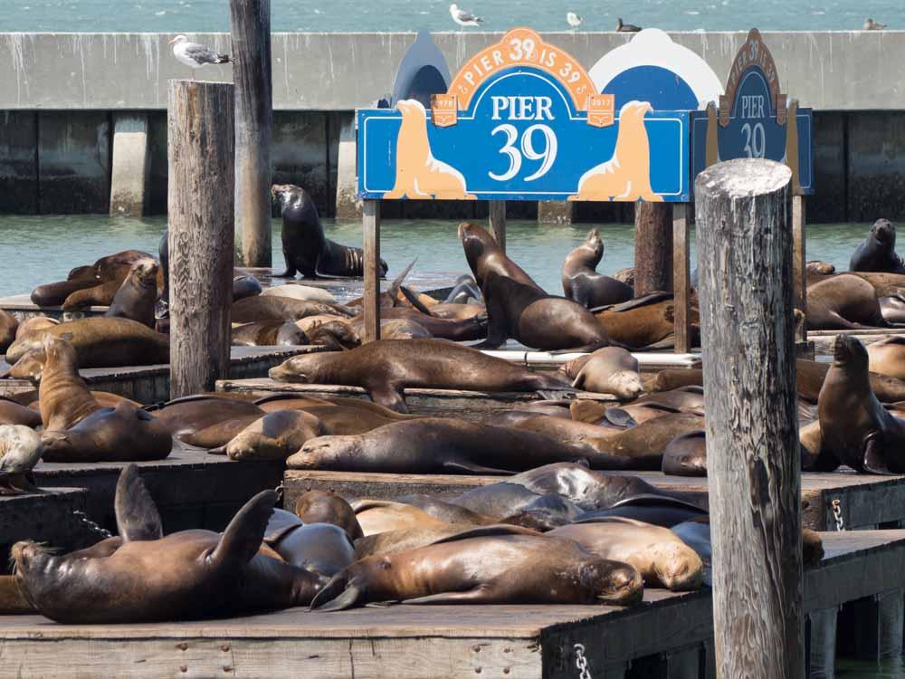 San Francisco's Pier 39 sea lions
