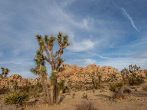 Joshua tree landscape with blue sky and rocks