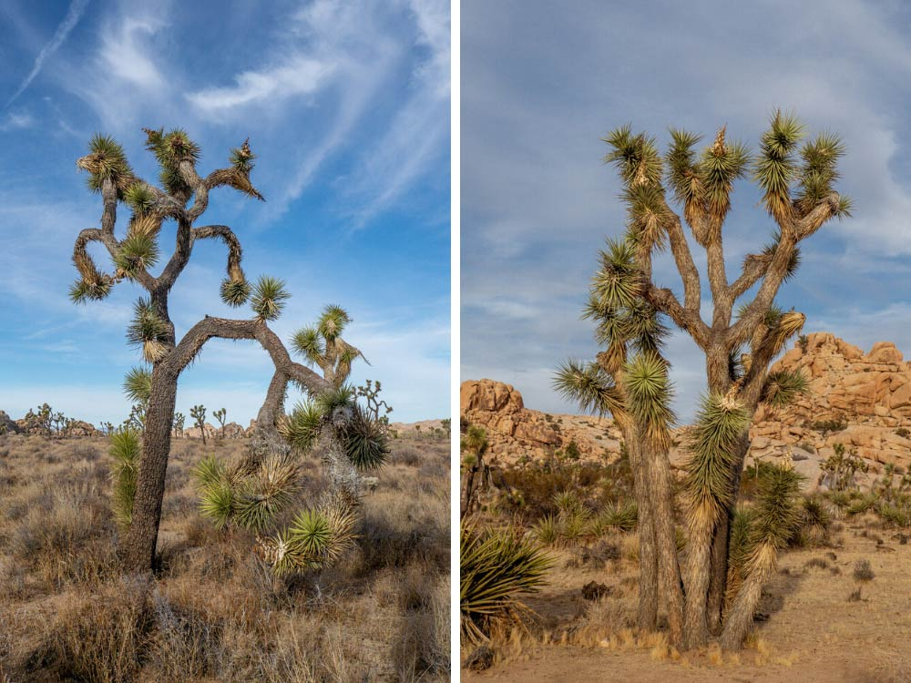 Joshua Tree National park in a day: Joshua Tree landscape