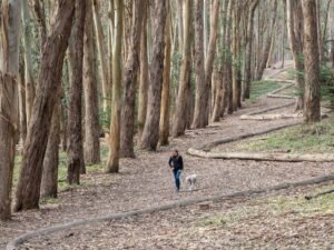 Goldsworthy lines in the Presidio San Francisco. Woman walking in the woods