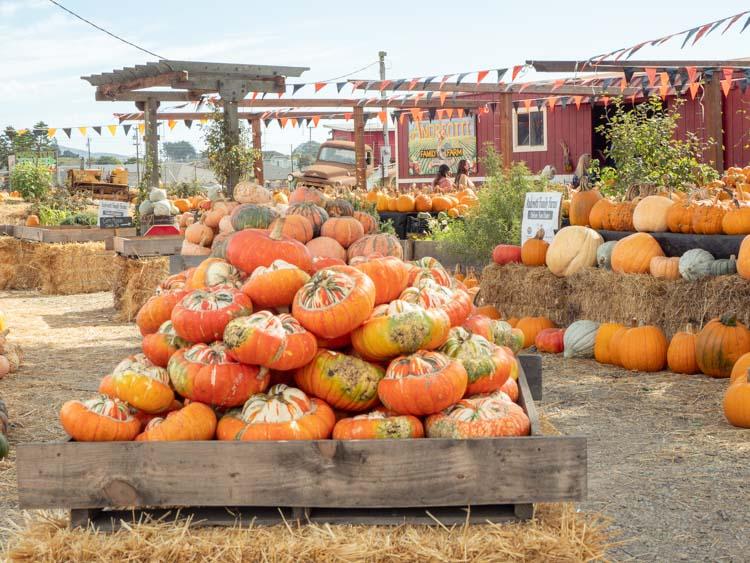 Andreotti Pumpkin Farm Half Mon Bay. Pumpkin display