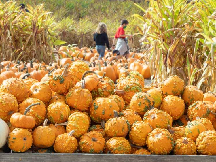 Arata farm pumpkin patch in Half Moon Bay