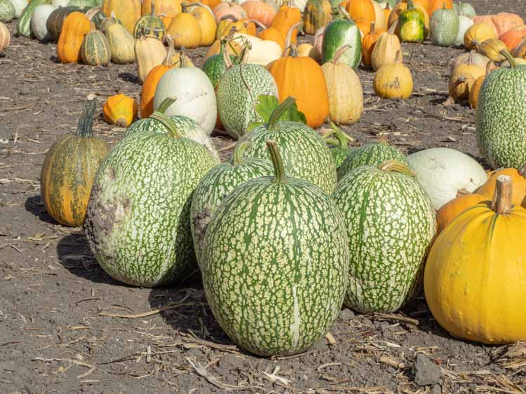 HV Pumpkin Patch. green and orange pumpkins