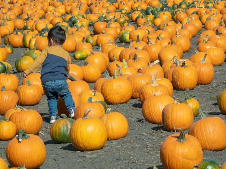 Repettos pumpkin patch. small child amidst pumpkins