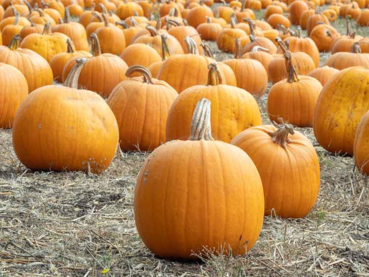 Half Moon Bay pumpkin farm. Pumpkins in a field