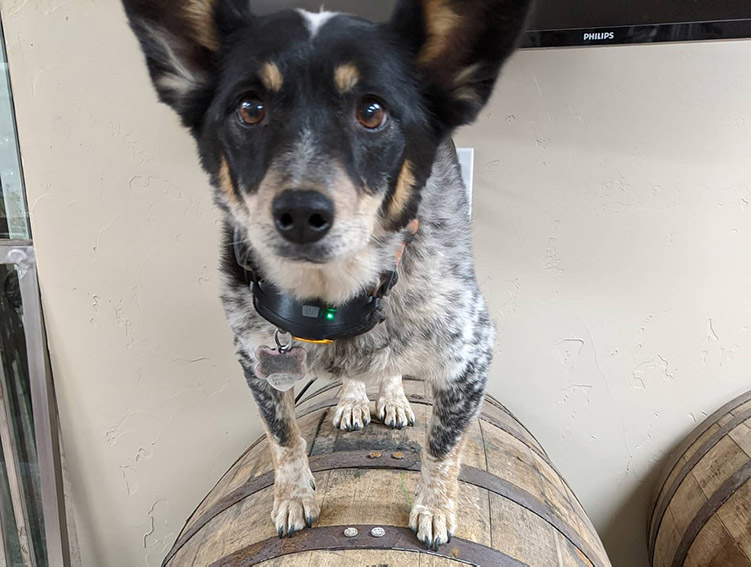 North Lake Tahoe brewery -Bear Belly brewery coya dog on beer barrel