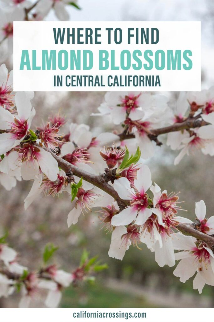 Where to find almond blossoms in central california. blooming branch