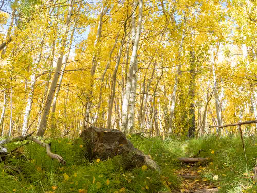 HIghway 395 Convict Lake aspen leaves