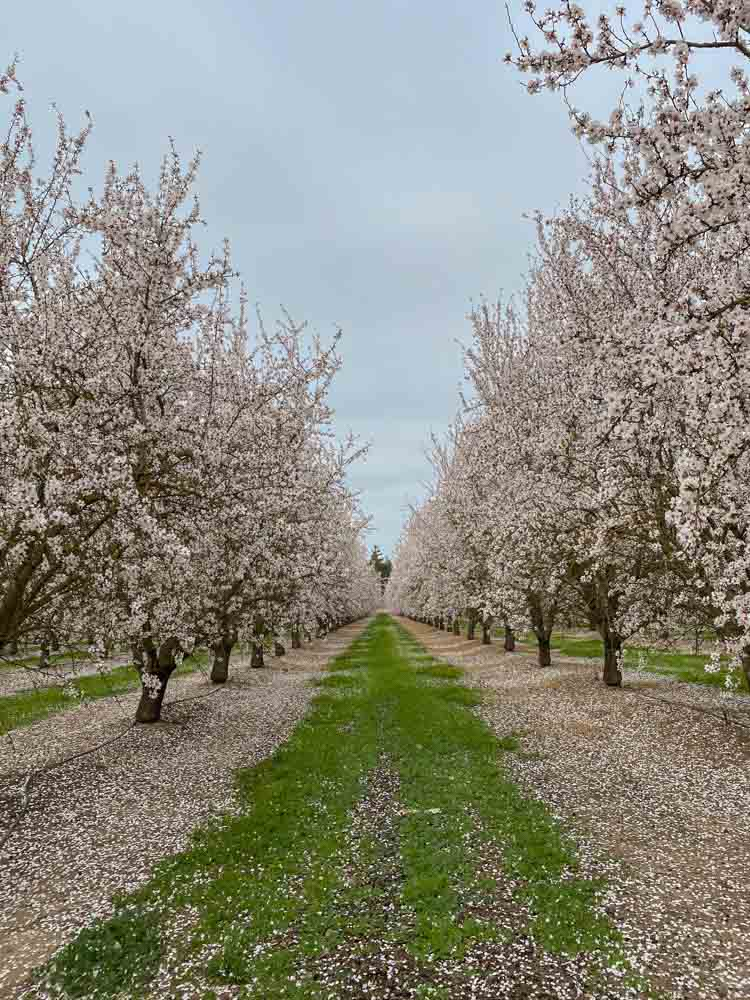 Almond blossom grove Modest California. blooming trees and grass