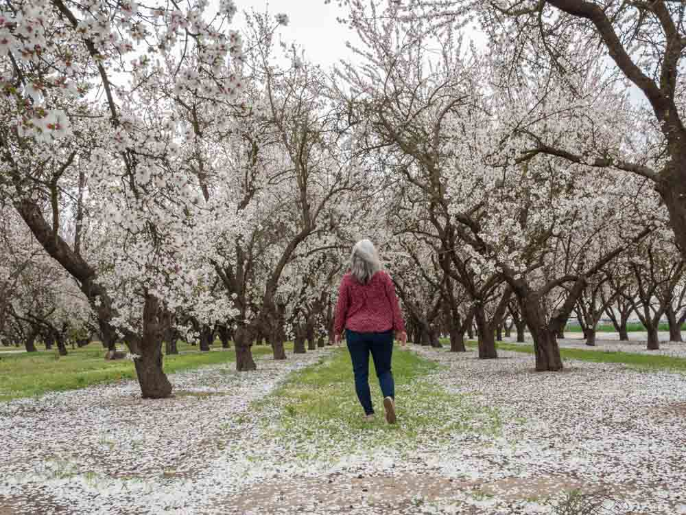Modesto Almond grove blooming trees with woman