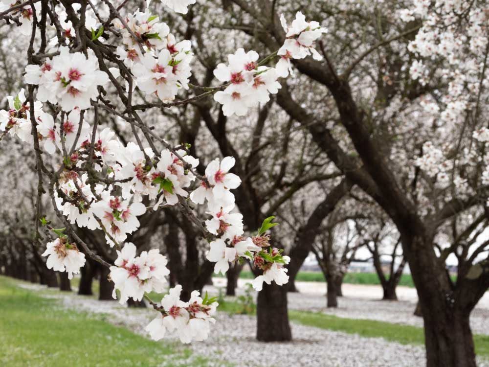 California almond blossoms blooming branch with trees