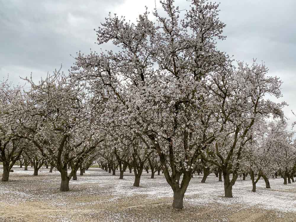 Central California blooming almond trees
