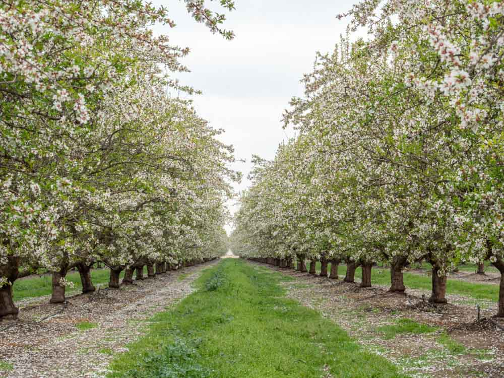 Row of blooming almond trees in California Modesto
