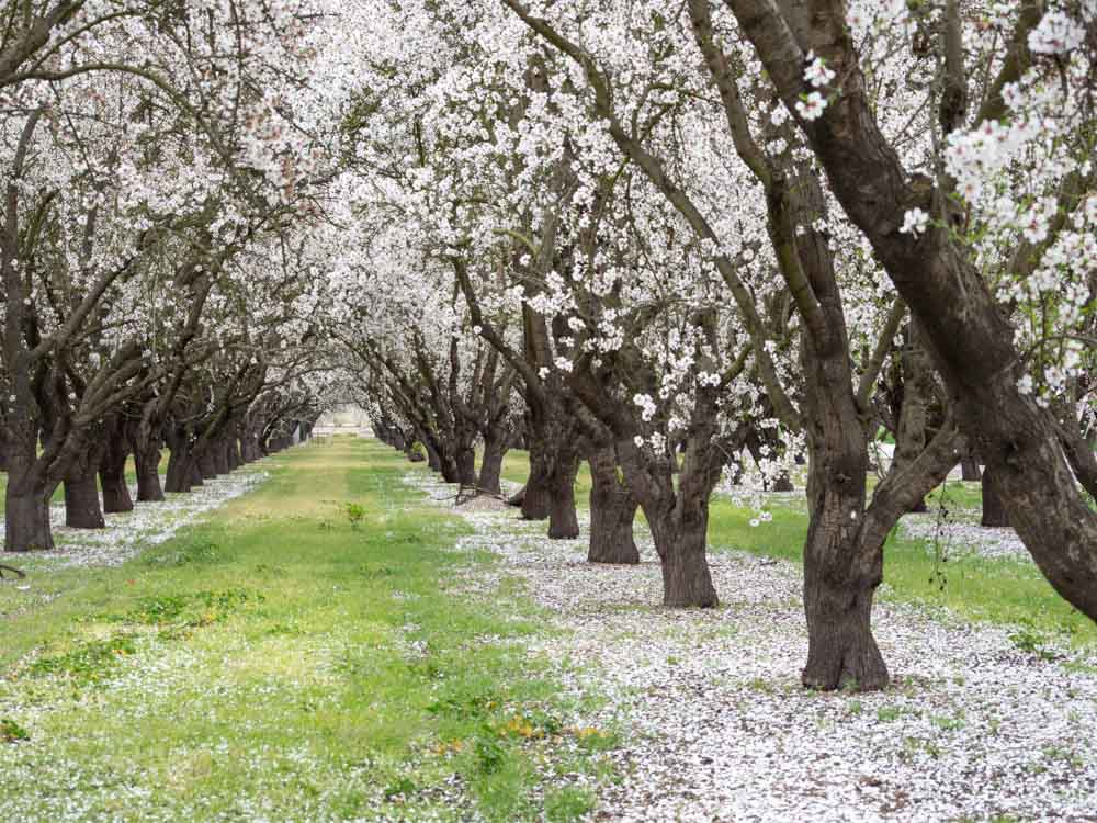 Grove of blooming almond trees in central california