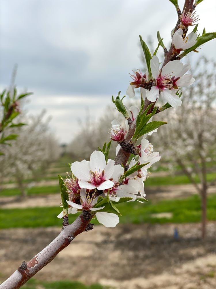 Blooming almond blossom tree branch
