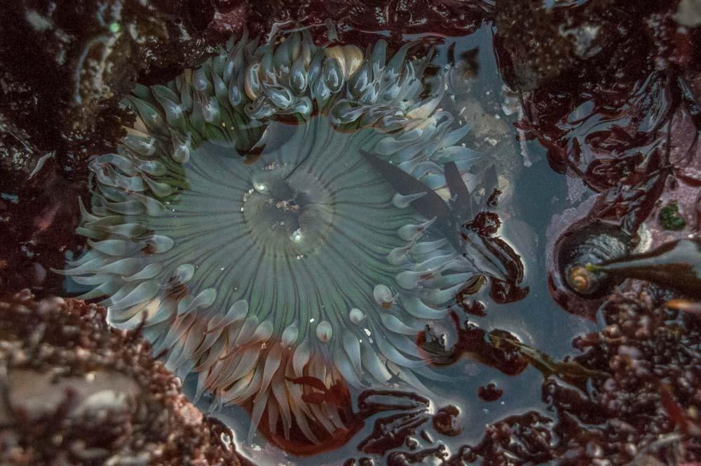 Fitzgerald Marin Reserve in Montara sea anemone