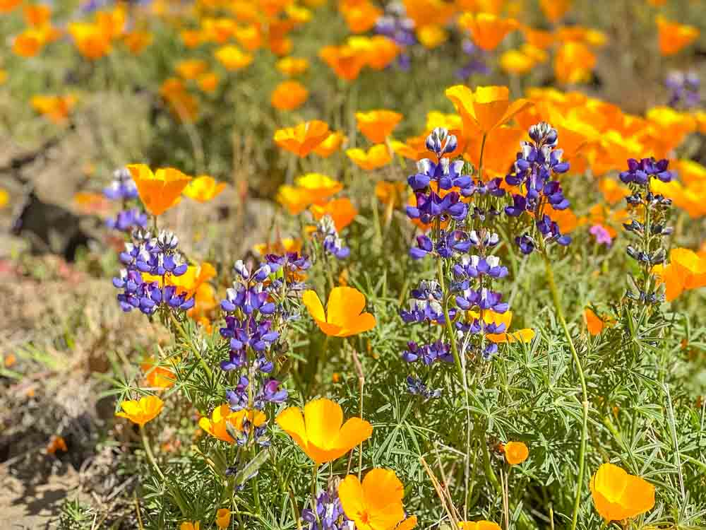 Lupin and Poppy blooming on Table Mountain California