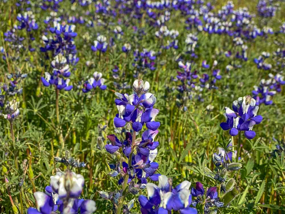 North Table Mountain Lupin wildflower blooming