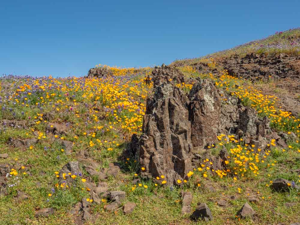 Lava mound with blooming poppies in Oroville