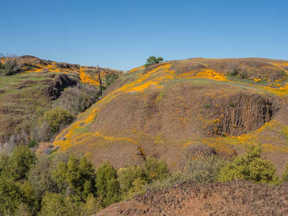 Poppys blooming on the Phantom Falls hike on Table Mountain California