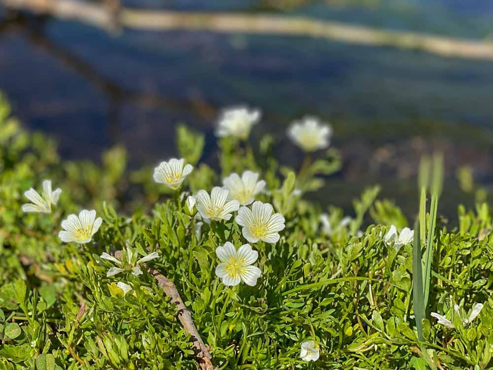 Blooming meadowfoam flowers on Table Mountain in California