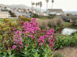 Cayucos, CA flowers and town