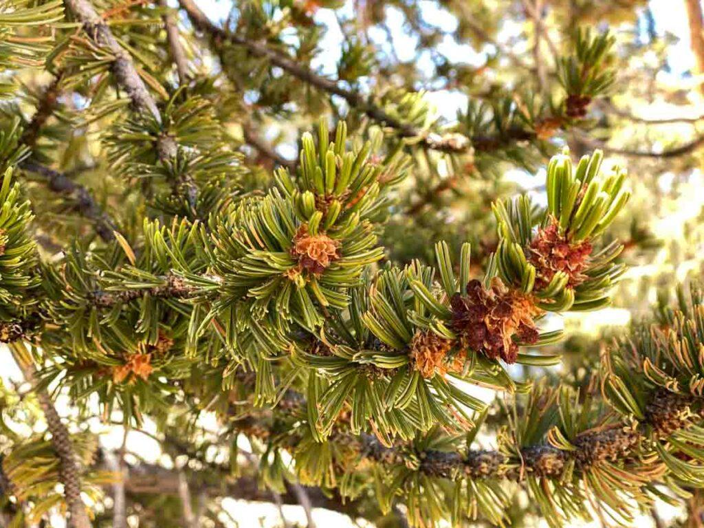 Bristle cone pine tree branches
