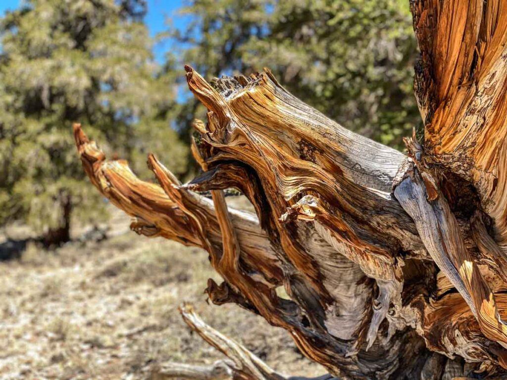 Ancient Bristle Cone pine tree branch