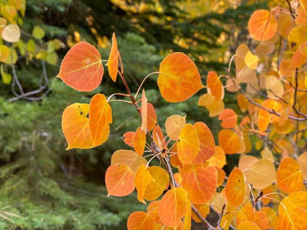 Aspen leaves Lee Vining Creek