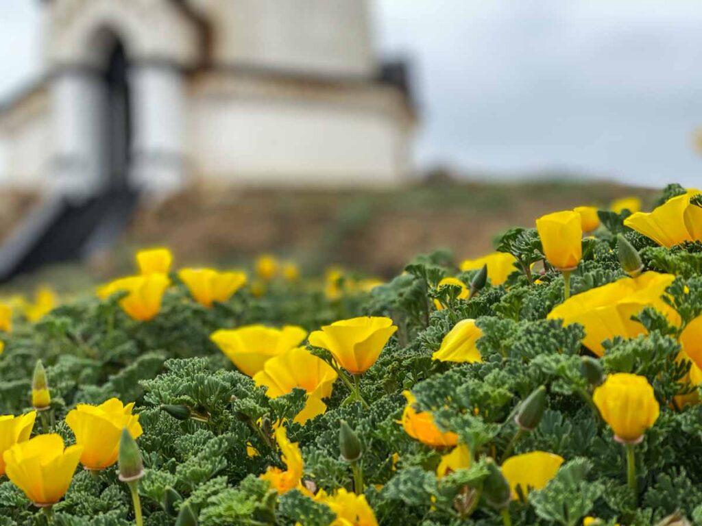 Piedras Blancas yellow poppies