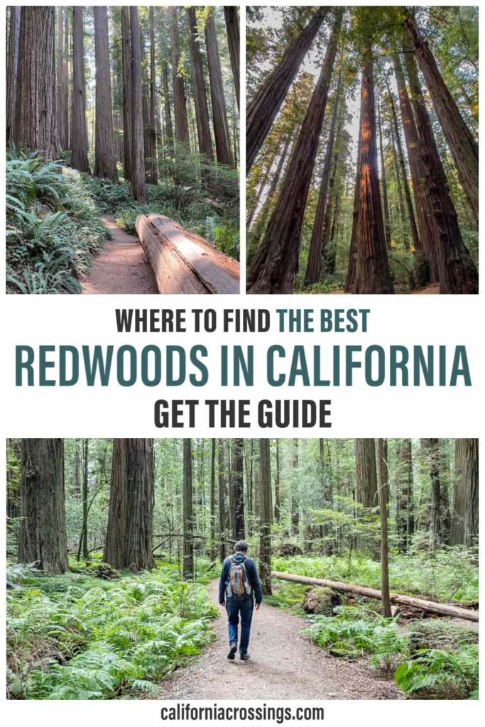 Best Redwoods in California. redwood forest and man hiking