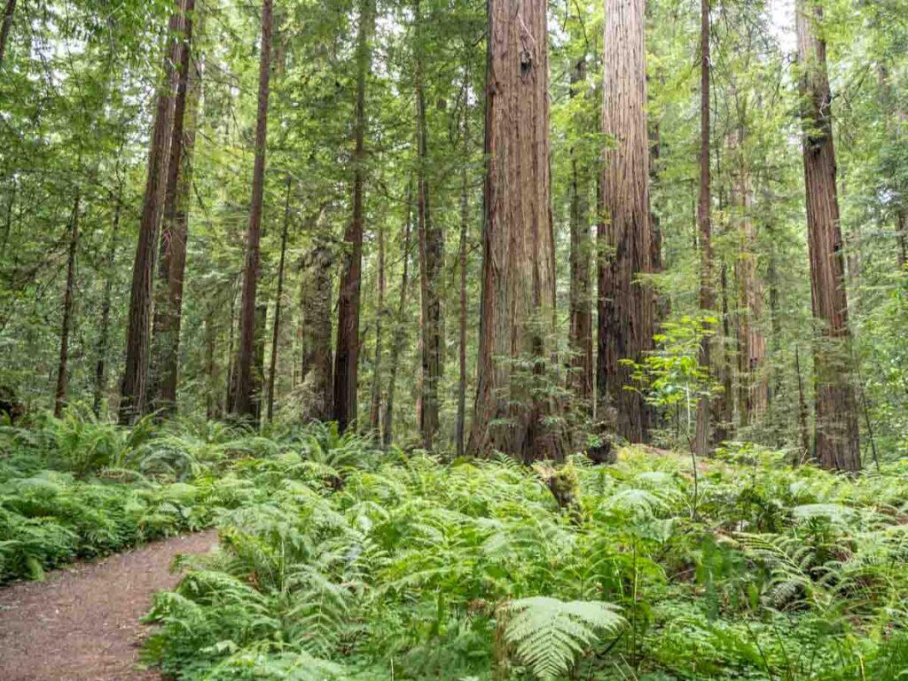 Avenue of the Giants scenic drive coast redwoods