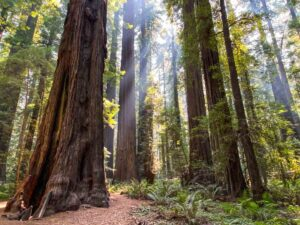 California Redwood Parks: Humboldt State Parks. forest with light
