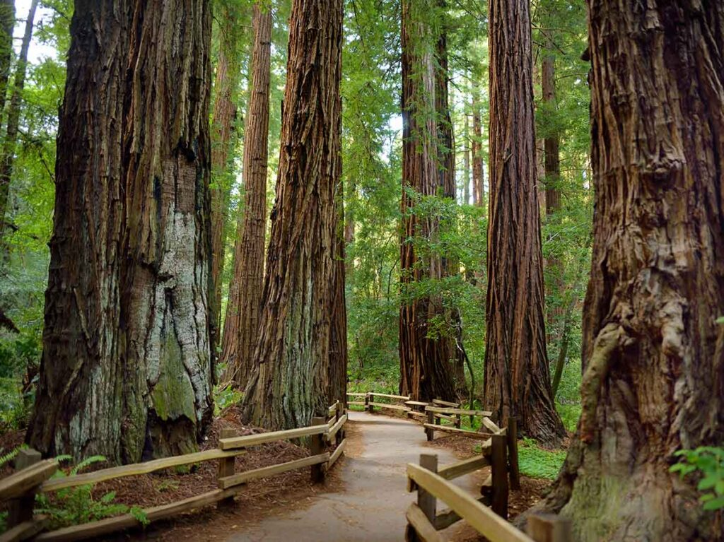 CA Redwood parks: Muir Woods National Monument. trail and redwoods