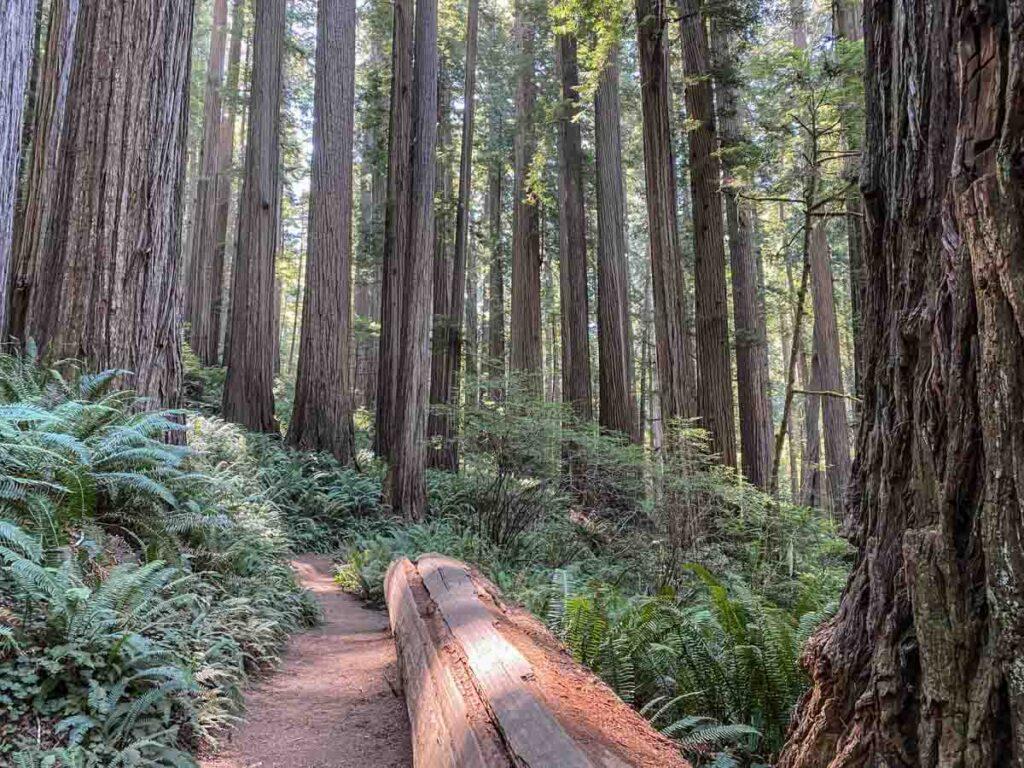 Boy Scout trail Jedediah Smith state park