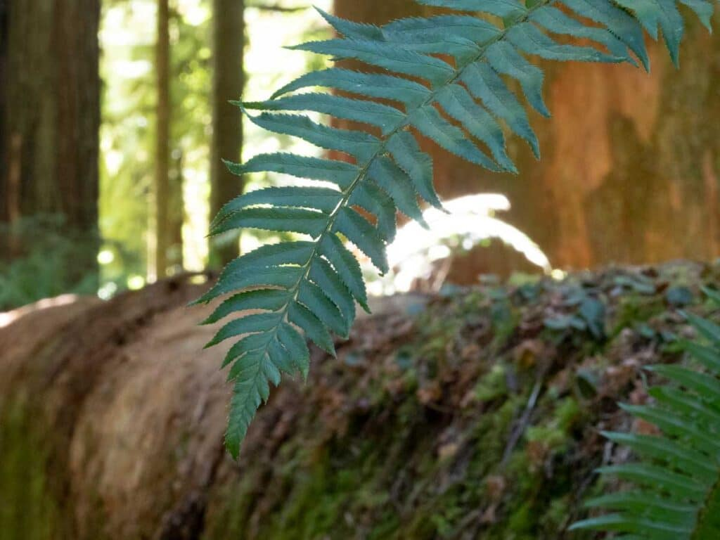 Peterson grove ferns Jedediah Smith Redwoods State Park