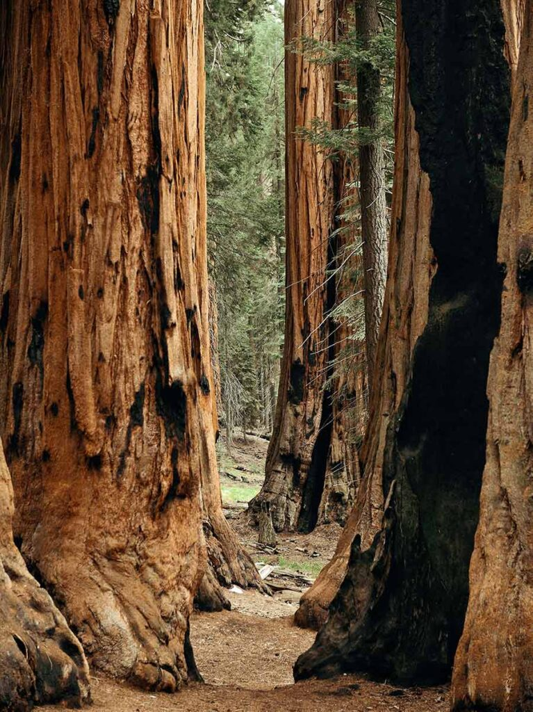 Giant Sequoia Redwood in Kings Canyon National Park