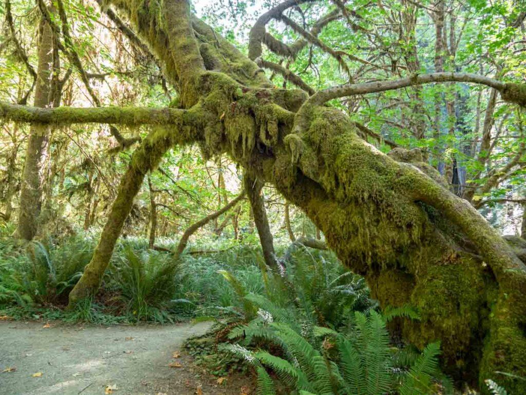 Prairie Creek trail- Prairie Creek Redwoods