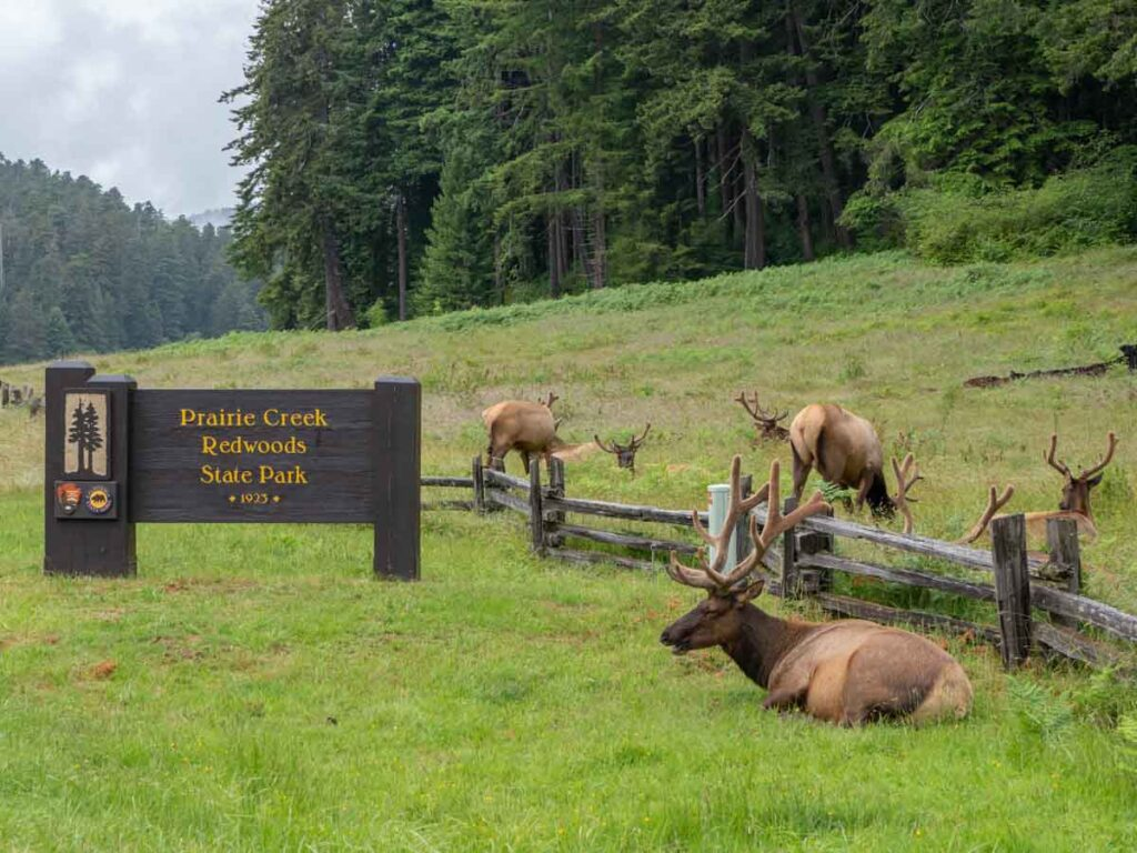 Roosevelt Elk in Prairie Redwoods State Park