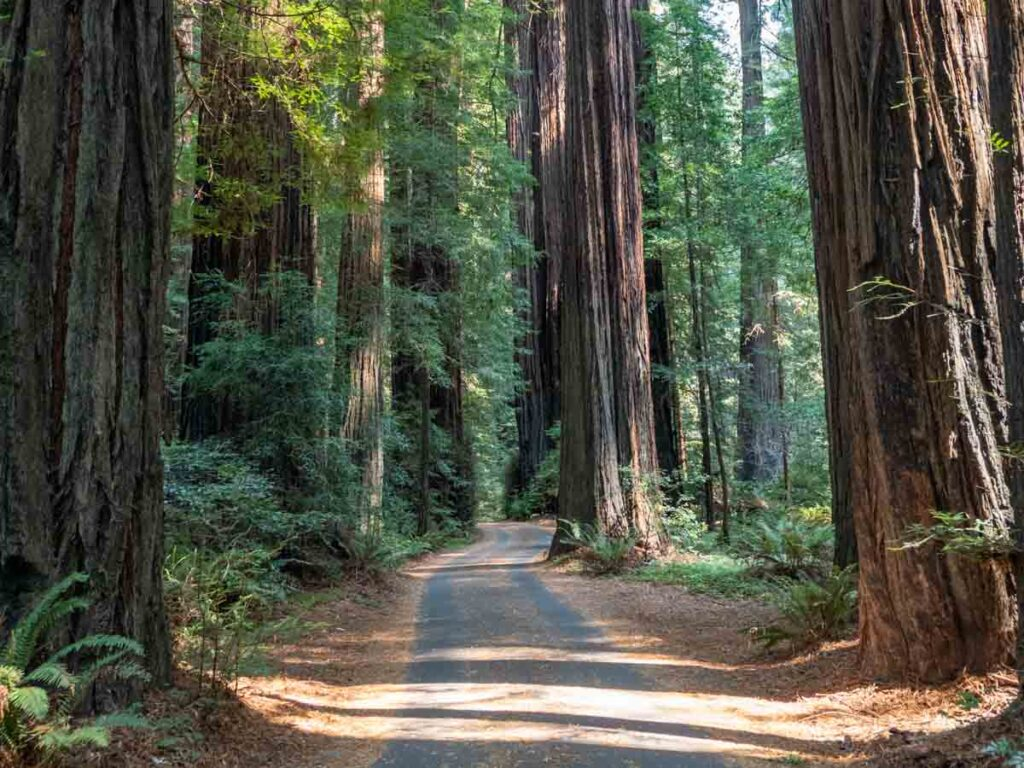 San Francisco to Redwoods National Park road trip. giant coast redwood trees