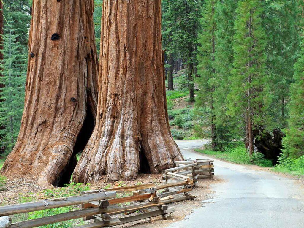 Mariposa Grove in Yosemite National Park. giant sequoia trees